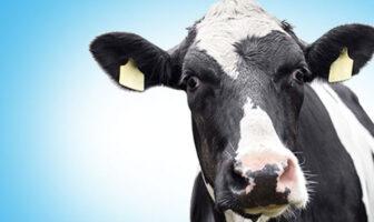 Steven Adams, pivot évoluant dans la franchise NBA de l'Oklahoma City Thunder : «Je me battais au rebond avec des vaches, bro»