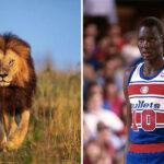 NBA – Comment Manute Bol, le père de Bol Bol, a réussi à tuer un lion sans fusil